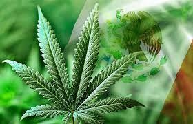 La producción y comercialización de Cannabis no psicoactivo