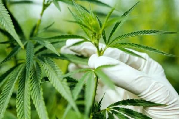 Puntos clave de la autorización para uso recreativo del Cannabis